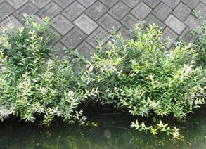 「ネコヤナギ・エコ工法」による水際植生(エコトーン)の再生
